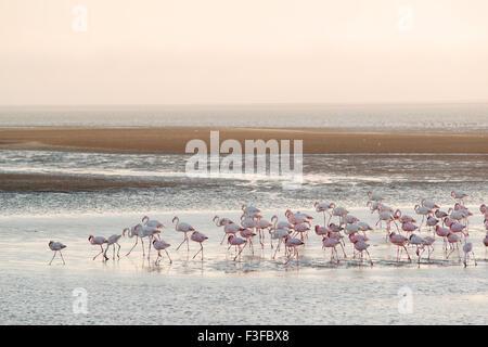 Greater flamingos (Phoenicopterus roseus) in water, Walvis Bay, Namibia - Stock Photo
