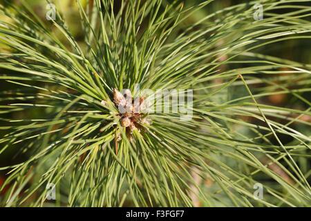Medicinal plant ; pine ; Chir ; botanical name Pinus roxbughii - Stock Photo