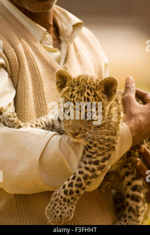 Man carrying big cat baby or young Leopard cub Panthera pardus - Stock Photo