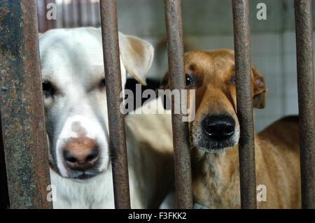 Welfare of Stray dogs ; Bombay based NGO takes care of stray dogs in the city at Mahalaxmi ; Bombay Mumbai , Maharashtra - Stock Photo