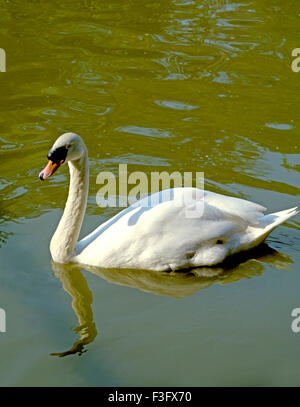 Birds ; White Swan swim in pond Safari world Bangkok ; Thailand ; South East Asia - Stock Photo