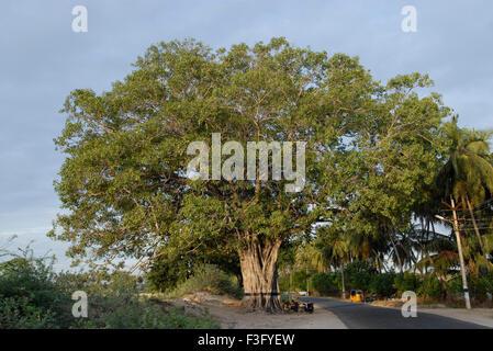 Sacred Peepal tree, Tiruchendur, Tamil Nadu, India - Stock Photo