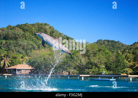 Dolphin jumping bottlenose Tursiops Truncatus Kingdom Animalia Phylum Chordata Class Mammalia Order Cetacea Family - Stock Photo