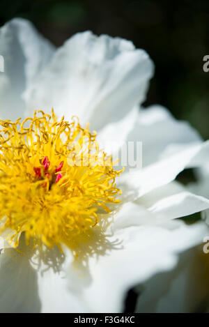Pure white single Peony flower with mass of yellow stamens. - Stock Photo