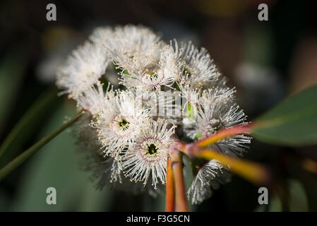 Eucalyptus debeuzevillei with white flowers in sunlight. A close up of a flowering branch. - Stock Photo