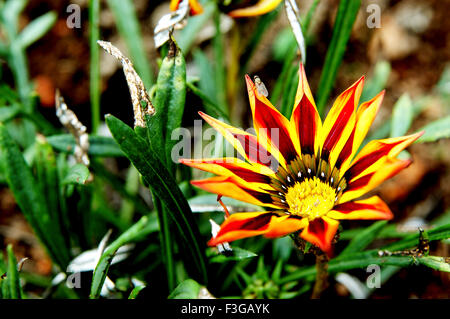 Yellow and red flower at private bungalow at Munnar ; Kerala ; India - Stock Photo