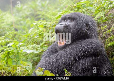 Mountain Gorilla (Gorilla gorilla beringei) female from the Agasha group, portrait in rain and yawning,  Volcanoes - Stock Photo