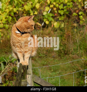 Ginger pet cat sat on top of a garden fence watching UK - Stock Photo