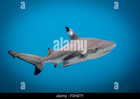 Juvenile blacktip reef shark swims free after it has been tagged, Lombok, Indonesia - Stock Photo