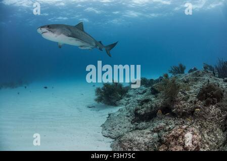Tiger shark (galeocerdo cuvier) swimming by reef in the north Bahamas, Caribbean - Stock Photo