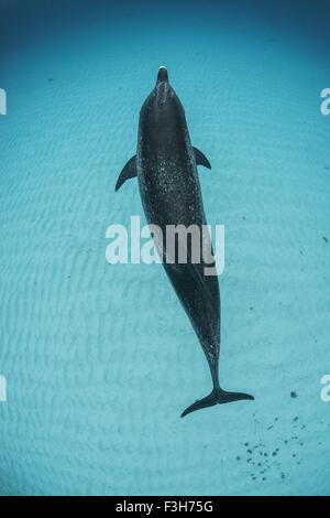 Overhead view of atlantic spotted dolphin, Bahama Banks, Bahamas, Caribbean - Stock Photo