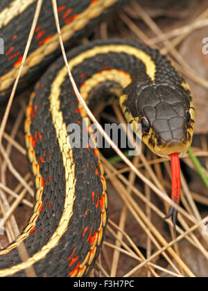 Red sided garter snake Thamnophis sirtalis parietalis in Narcisse snake dens, Manitoba, Canada. - Stock Photo