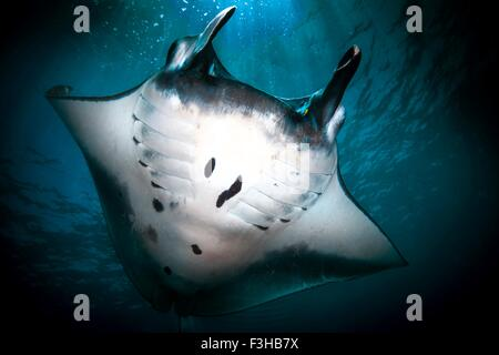 Underwater low angle view of  Manta Ray (manta alfredi) feeding at ocean surface, Bali, Indonesia - Stock Photo