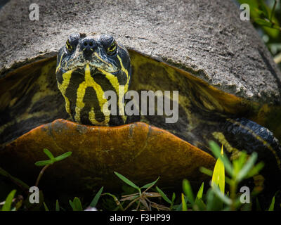A Cooter turtle - a large herbivorous freshwater turtle - Stock Photo