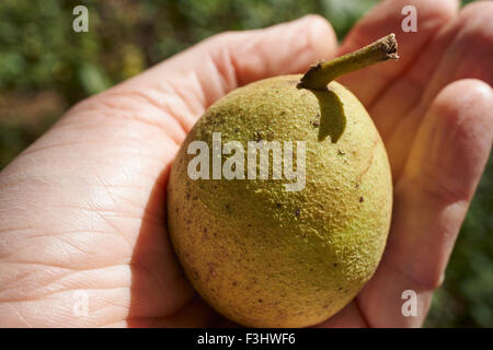 A fresh ripe black walnut fruit just picked from a tree - Stock Photo