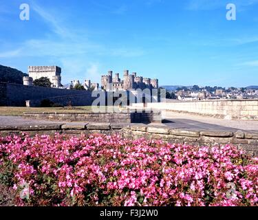 View of the medieval castle with flowers in foreground, Conwy, Gwynedd, Wales, UK, Western Europe. - Stock Photo