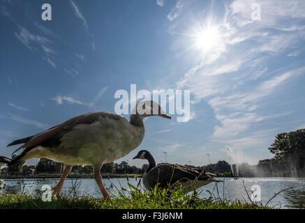 Wildlife birds in the park Burgess Park, London, England, Great Britain, United Kingdom, Europe - Stock Photo