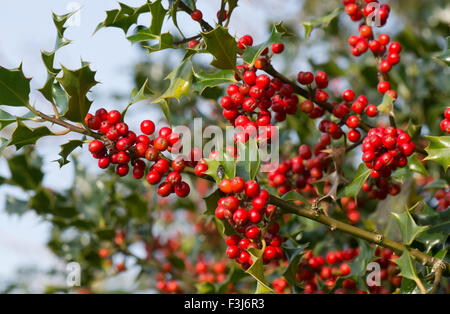 Holly, Ilex aquifolium, red berries and green leaves in early autumn, Berkshire, UK, October - Stock Photo