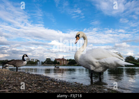 Mute Swans adults (Cygnus olor) in the water Burgess Park, London, England, Great Britain, United Kingdom, Europe - Stock Photo