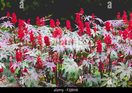 Castor oil plant with red prickly fruits and colorful leaves - Stock Photo