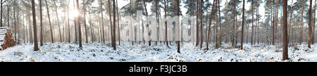 Gigapano of pinewood forest in winter at the Vagevuurbossen in Belgium with sunlight coming through the trees - Stock Photo