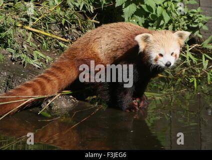 Asian Red Panda (Ailurus fulgens) at the water's edge - Stock Photo