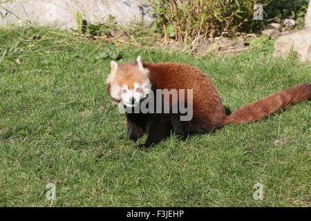 Asian Red Panda (Ailurus fulgens) - Stock Photo