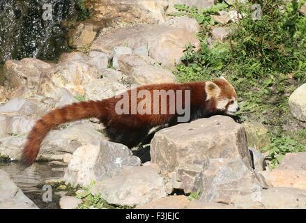 Asian Red Panda (Ailurus fulgens) crossing a small stream - Stock Photo