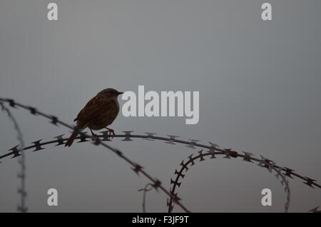 Hedgesparrow perched on razor wire - Stock Photo