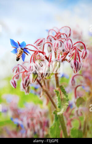 A bee sucking nectar from flower blue borage - Stock Photo