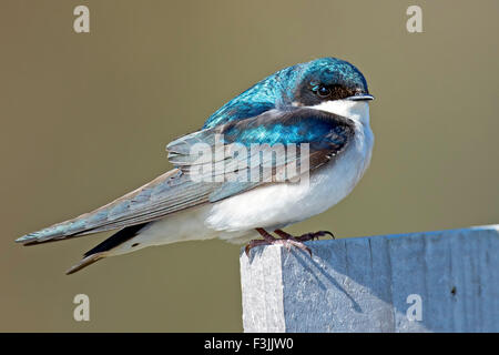 Male Tree Swallow - Stock Photo