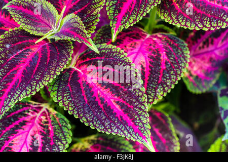 Close up of Coleus leaves (Painted nettle,Flame nettle ) - Stock Photo