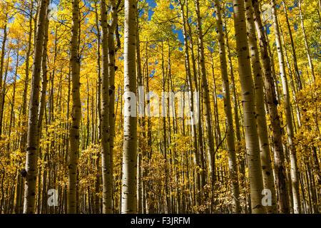 A grove of Aspen trees in full Autumn color on the Colorado Trail in Kenosha Pass, Colorado. - Stock Photo