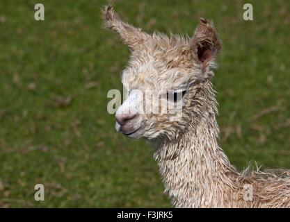 Baby Alpaca or Cria (vicugna pacos) - Stock Photo