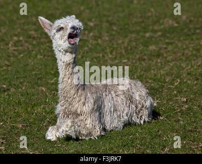 Baby Alpaca or Cria (vicugna pacos) yawning - Stock Photo