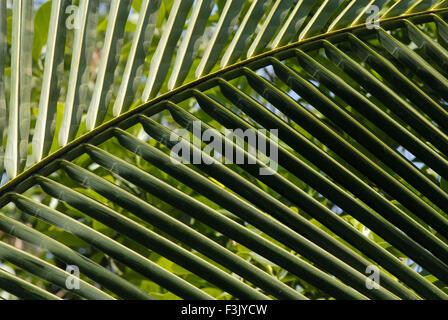 Close view of curve of the lush green palm tree leaf Chiplun Konkan region Ratnagiri Maharashtra india - Stock Photo