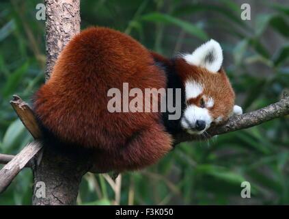 Asian Red Panda (Ailurus fulgens) sleeping in a tree - Stock Photo