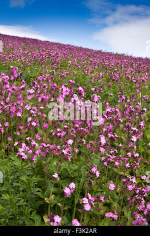 UK, England, Yorkshire East Riding, Fridaythorpe, Brubberdale, field full of Red Campion, Silene dioica flowers - Stock Photo