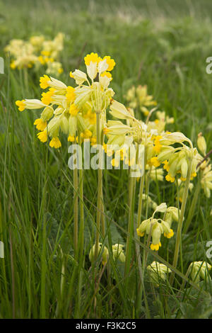 UK, England, Yorkshire East Riding, Huggate, Waterman Hole, wild flowers, Cowslips, Primula veris - Stock Photo