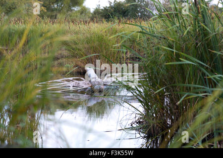 A giant grey gray concrete and metal dragonfly sculpture in the water at a nature reserve pond with reed mace and - Stock Photo