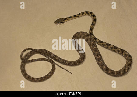 Cat snake, Boiga sp, Colubridae, Manu,Tripura, India - Stock Photo
