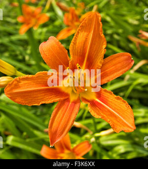 One flower lily of orange colour on green grass background.