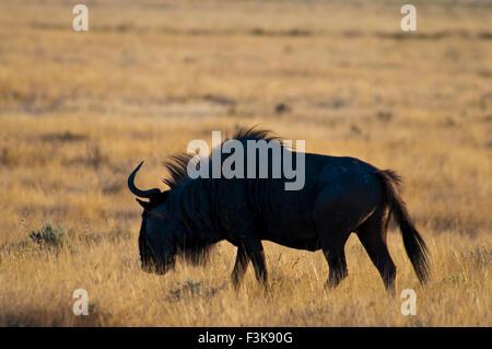 Silhouette of a Wildebeest, Connochaetes taurinus, Masai Mara National Reserve, Kenya, Africa - Stock Photo