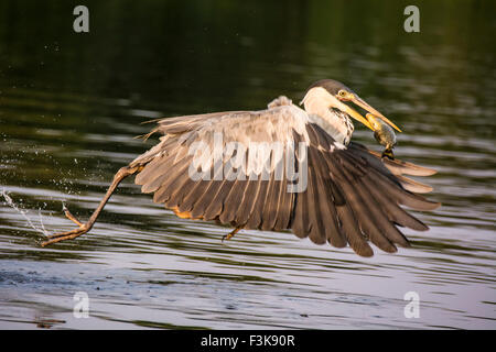 Cocoi Heron or White-necked Heron, Ardea cocoi, flying off with a fish in its beak, in the Pantanal, Mato Grosso, - Stock Photo