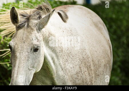 White mare walking with a fixed eye in an open green meadow - Stock Photo