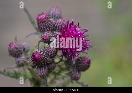 Thistle in Bloom with purple flowers, possible a milk thistle Macro, Closeup - Stock Photo