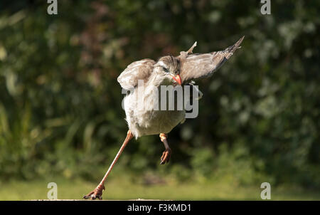 Red-legged Seriema or Crested Cariama Cariama cristata running and turning with Trees in the background - Stock Photo