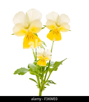 Pansy flowers isolated on white - Stock Photo