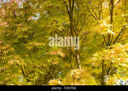 Acer palmatum 'Sango kaku'. Japanese round headed maple tree in autumn - Stock Photo