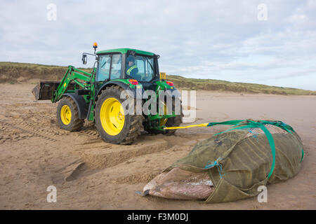 Hartlepool, UK. 9th October, 2015. The 18ft-long dead Minke Whale was washed ashore on Thursday (8th October) afternoon. - Stock Photo